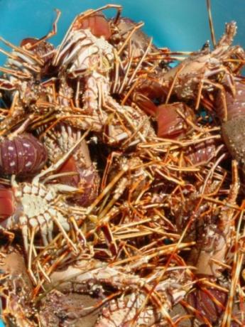 eat in Sardinia: Alghero lobster