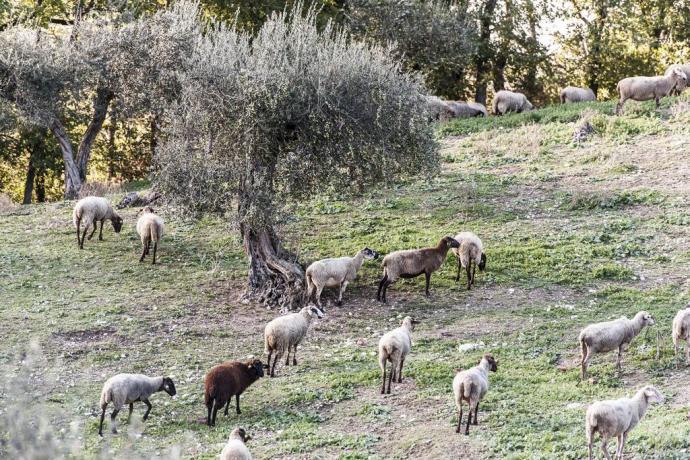 Allevamento interno di Pecore
