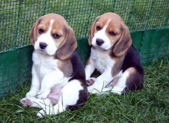 Cuccioli Beagle Allevamento In Umbria Beagle Cuccioli Maschi E