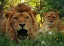 See the lions in Pistoia
