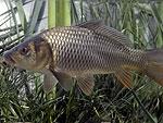 Carpa pesce comune al Trasimeno