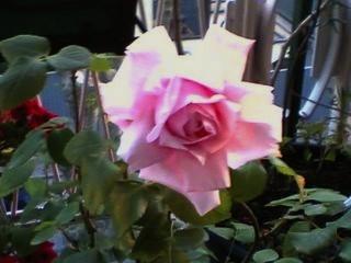 vivaio-rose-antiche-botaniche-avellino