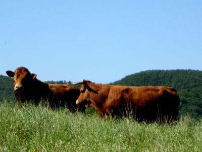 vendita-diretta-carne-bovina-umbria-Lagotrasimeno