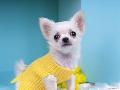 Chihuahua a pelo lungo bianco perugia