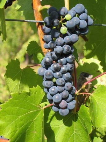 grappolo d'uva di sagrantino