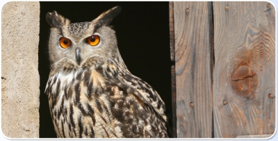 Owls and other raptors to be seen in Oltremare