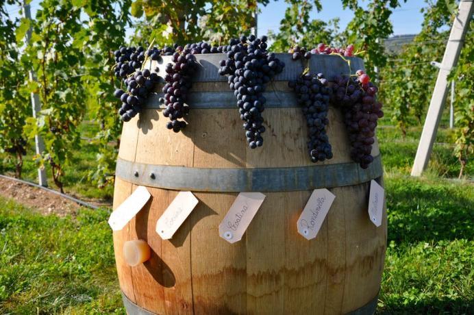 Coltivazione uva in Agriturismo B&B