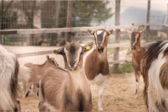 Caprette nane fattoria agriturismo vicino Spoleto