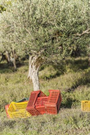 Raccolta oliva per produzione Olio