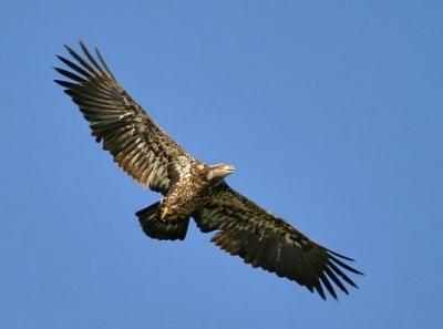 Aquila reale in volo in Umbria