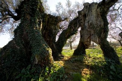 Olivi secolari nelle campagne umbre