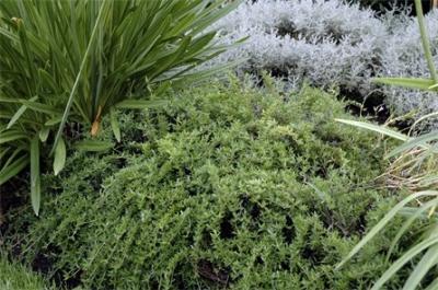 thymus marshallianus