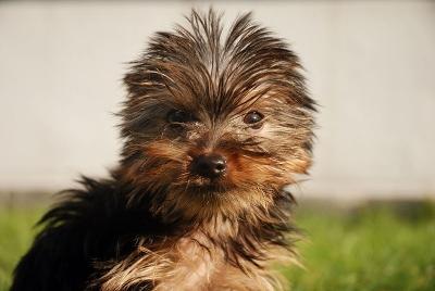 allevamento-cuccioli-yorkshireterrier