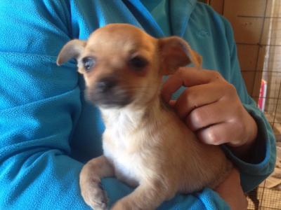 vendita chihuahua femmina 3 mesi pelo corto