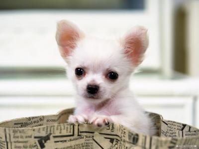 chihuahua toy piccolissimo