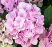 vivaio-roma-azalee-ortensie-rododendri
