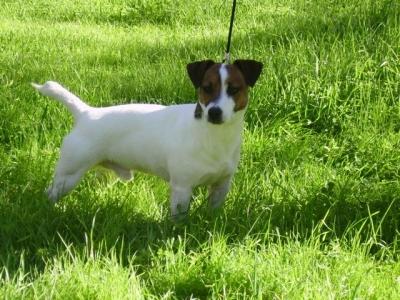 allevamenti-cuccioli-jack-russel-terrier