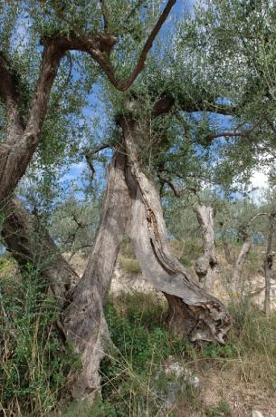 Secular olive trees in Umbria