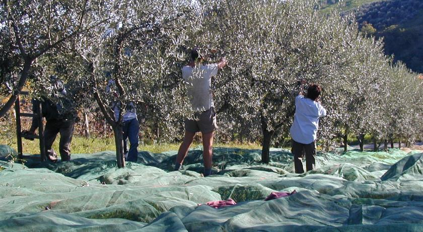 Raccolta delle olive, agriturismo a Penne