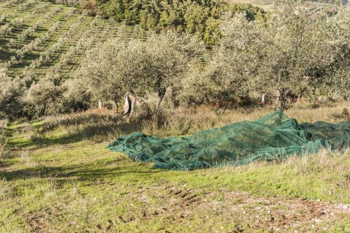 Ulivi nelle vicinanze dell'Agriturismo