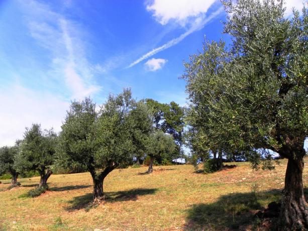 Uliveto nella tenuta agricola Agriturismo a Gubbio
