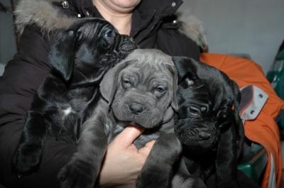 allevamento-cuccioli-cane-corso
