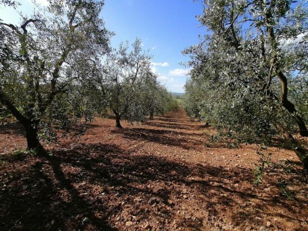 Agriturismo bio con produzione olio Manciano-Grosseto