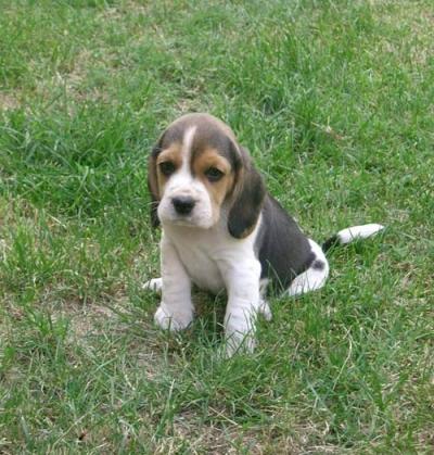Cuccioli Cani Per Bambini Casafioravanti Allevamento Beagle Labrador