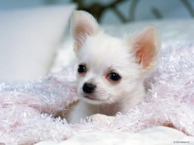 Chihuahua bianco pelo corto prezzo
