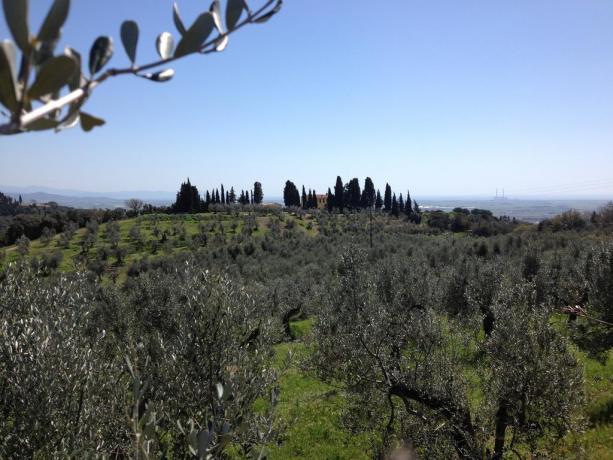 Chiusa di ulivi adiacente al Casale Toscano
