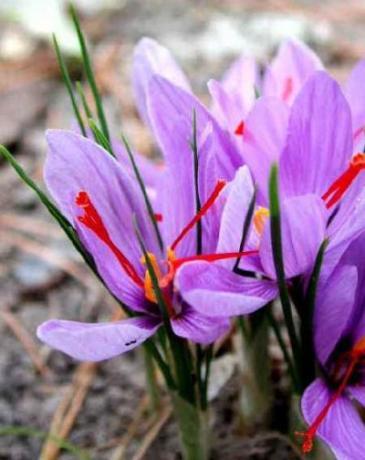 fiori dello zafferano