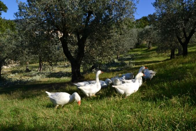 Allevamento oche Casale Montecchio vicino Orvieto