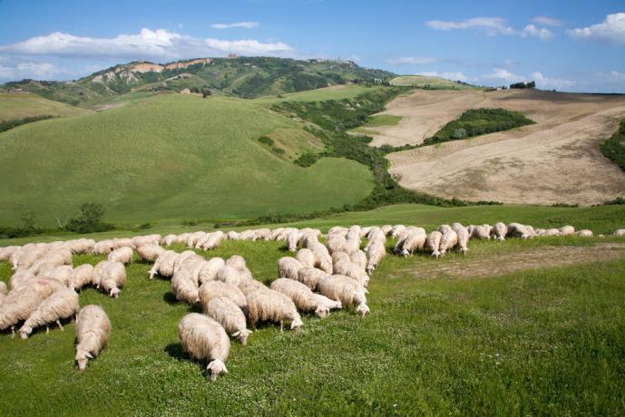 Allevamento di pecore alla Fattoria di Volterra