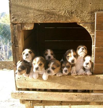 Allevamento Vicino Roma Di Beagle Pinscher Nani E Labrador