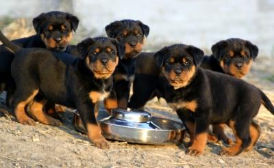 cuccioli-rottweiler-allevamento-umbria