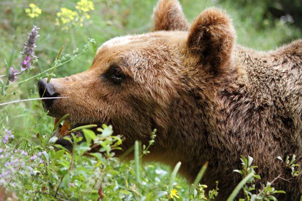 Orso bruno nel Parco Nazionale d'Abruzzo