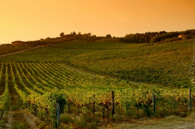 Chianti Wineyard
