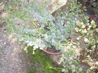 thymus ciliatus