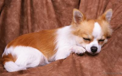 Chihuahua a pelo lungo assisi