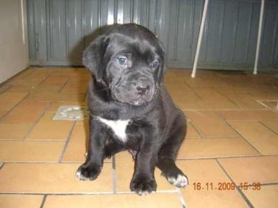 cucciolo cane corso 1/2 mesi