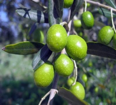 Caolare immerso negli ulivi