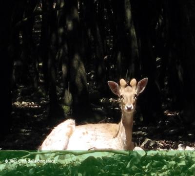 Il Daino del bosco in libertà