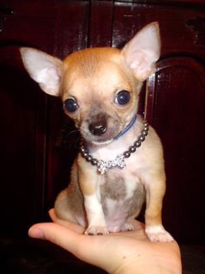 Chihuahua toy a pelo corto prezzo
