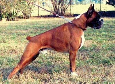 allevamento-amatoriale-cani-boxer