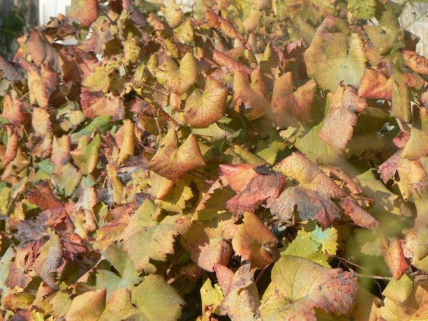 Cespuglio di foglie