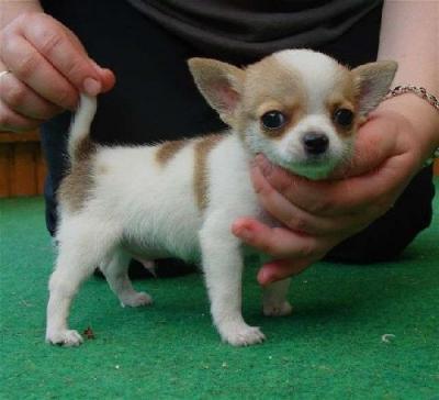 Chihuahua pelo corto femmina