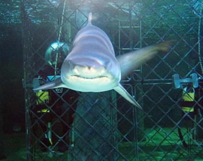Eye to Eye with Giant Sharks at Sealife