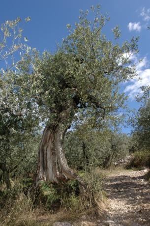 Olive trees detail