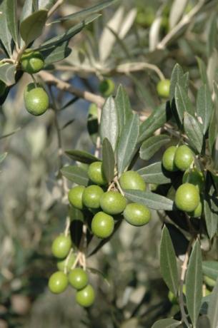 Umbrian olives