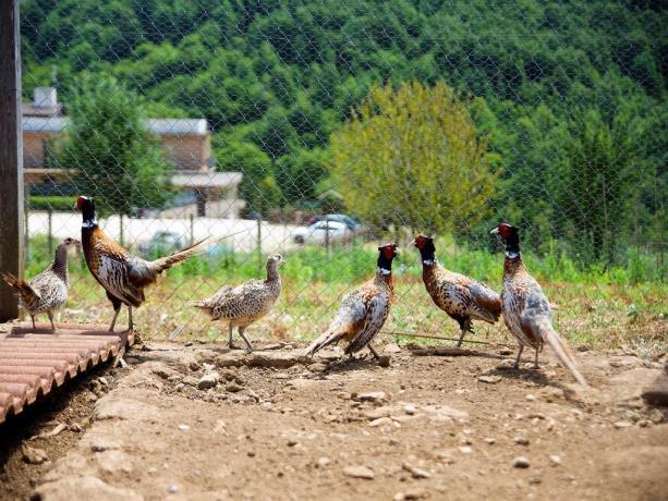Azienda Agricola nel Lazio-Fagiani